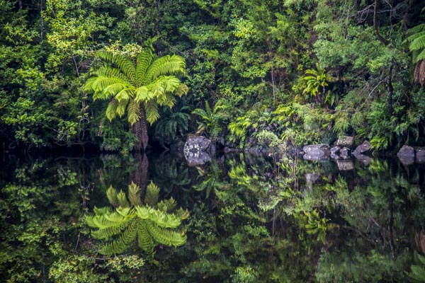 Tree fern reflection