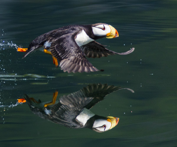 alaska photography tour puffin running on water