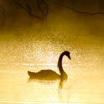 kangaroo island photo tour swan sunrise