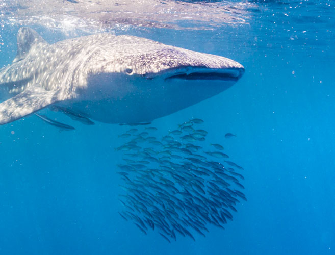 Karijini Ningaloo Photography whale shark swim