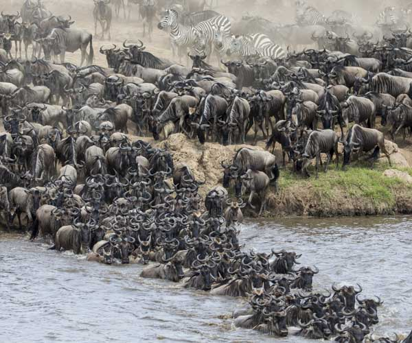 kenya photo tour migration river crossing