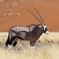 namibia botswana photo tour oryx standing red dune