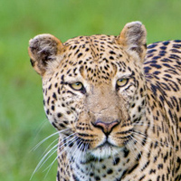 namibia botswana photo tour leopard