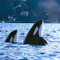 orca spyhop killer whales norway