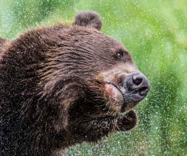 bear shaking off water on alaska photo tour