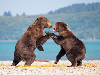 bears fighting gh5 alaska