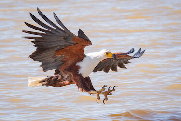 eagle snatches fish gh5